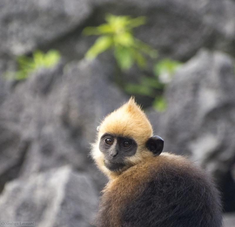 Bhaya group protect langur on Cat Ba Island